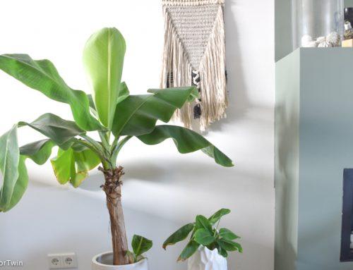 Zo stek je je bananenplant + tips voor de verzorging